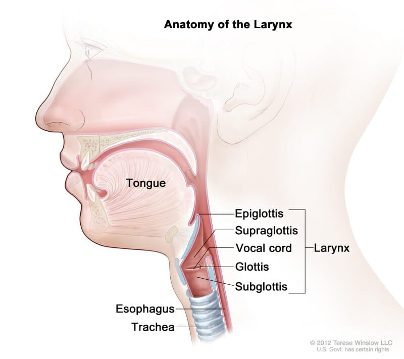the anatomy of the larynx
