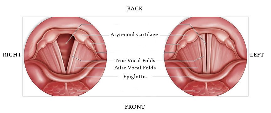 diagram of the vocal folds, epiglottis and arytenoid cartilage