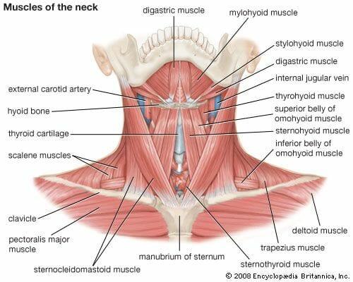 Diagram showing the muscles in the neck