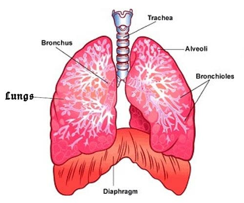 A diagram showing the diaphragm in the body