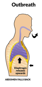 Diagram showing that as the diaphgram relaxes, it returns to a bowl shape collapsing the lungs to their normal position