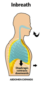 Diagram showing that as the diaphragm contracts, it flattens and opens the lungs
