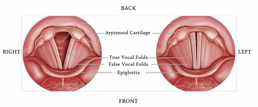 the vocal chords, epiglottis and arytenoid cartilage