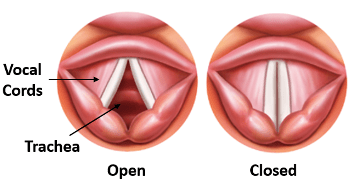 The vocal folds closed or approximated
